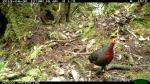 Crimson-headed Partridge