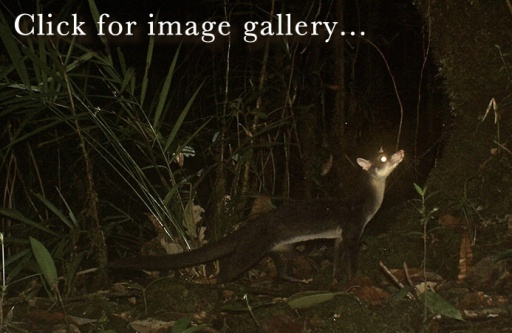 Click for image gallery - Hose's Civet