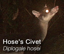 HOSCAP Borneo - Hose's Civet