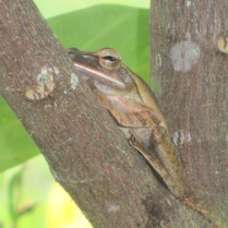 Forest amphibians