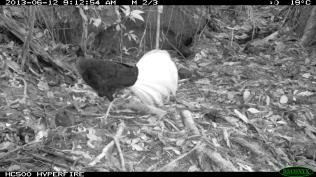 Bulwer's Pheasant