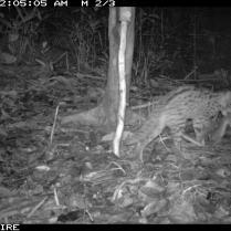 Leopard Cat w/ Meal