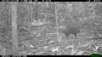 Short-tailed Mongoose