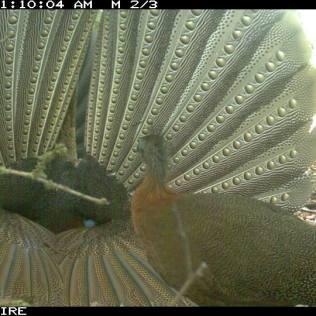 Great Argus Pheasant Display