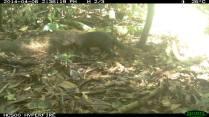Short Tailed Mongoose