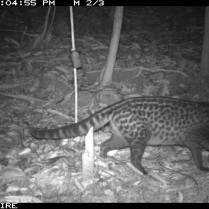 Malay Civet
