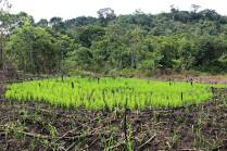 Rice being grown on a recently-cleared slash and burn field