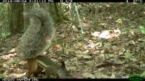 Tufted Ground Squirrel