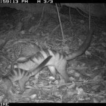 Banded Civet Juvenile and Adult