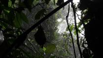 Horshoe bat hiding out from the rain