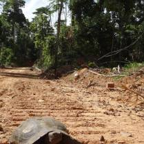 Asian Giant Tortoise (Manouria emys) crossing a logging road